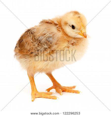 One Little Chicken Standing On White