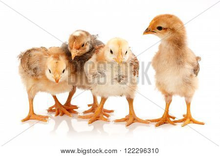 Four Little Chickens Standing On White