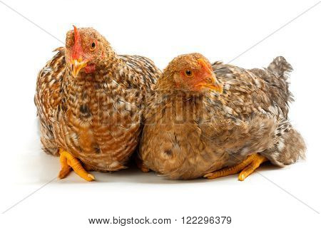 Pair Of Speckled Pullets Sitting On White