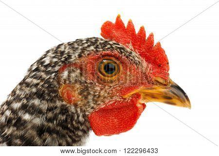 Macro Of Speckled Pullet Head