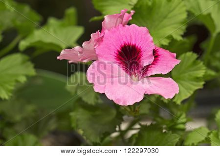 Pink pelargonium flower growing at home in flowerpot