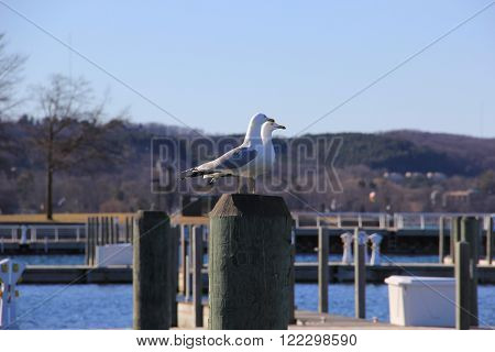 Gulls sit on pilling in Traverse City, Michigan