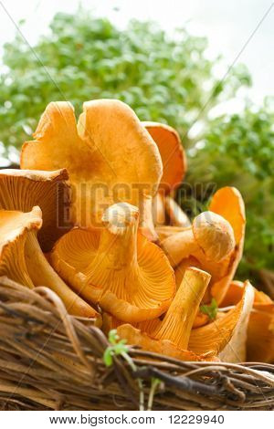 fresh chanterelle in basket