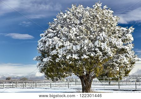 snow covered farm and fencing with juniper tree landscape in winter
