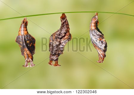 Pupa of commander butterfly with clipping path ( moduza procris )