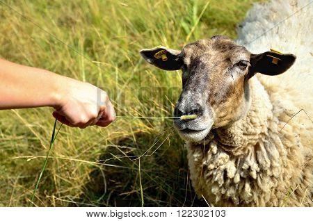 Sheep with hand holding food during shiny day with grass on background