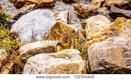 Chipmunk in the High Alpine in the Rocky Mountains at the Teahouse near the Plain of Six Glaciers at Lake Louise in Banff National Park in the Canadian Rocky Mountains