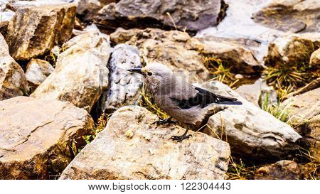 Clark's Nutcracker in the High Alpine in the Rocky Mountains