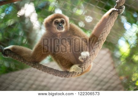Brown Gibbon in the zoo. fight for gibbon