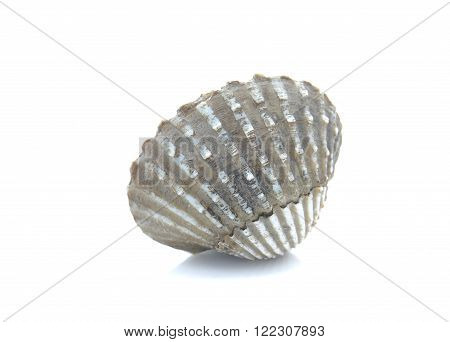 Cockle , Scallop isolated on white background.