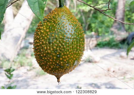 Gac fruit (Momordica cochinchinensis) is cultivated throughout Southeast Asia