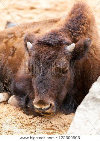 a bison cub lies on sandy ground