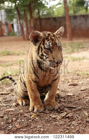 Tiger cub getting calm, wait a moment to attack somebody