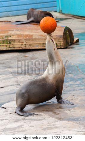 a seal juggle orange basketball on head