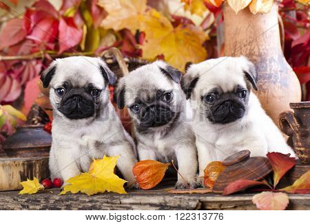 pug puppies in the autumn with a background