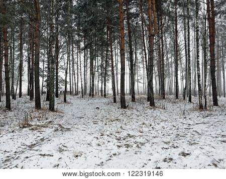 Fog in winter forest. In the background can be seen a very thick fog