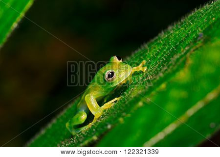 tropical glass frog, Cocranella nola. A small tree frog from the Amazon rain forest. A beautiful rainforest animal.