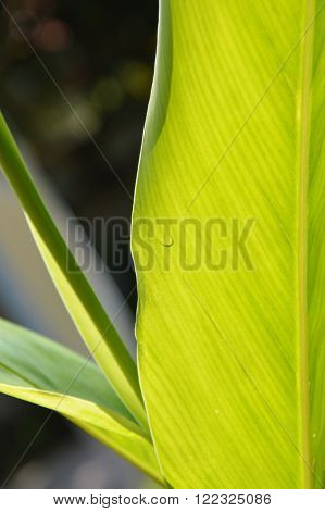 drop of water on galangal leaf in the garden