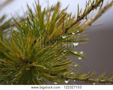 macrofilming of a drop of dew on larch branches fall Russia South Ural