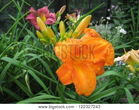 macrofilming of the growing flower of a day lily Hemerocallis of yellow color on a bed in a garden