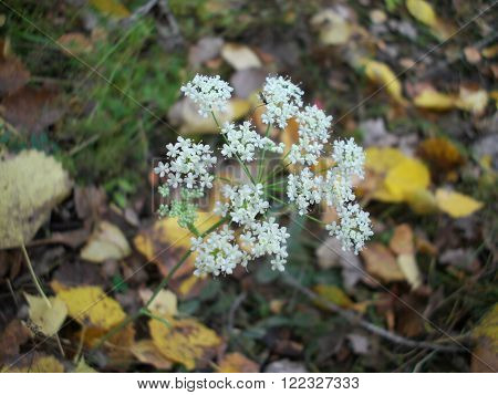 macrofilming of a flower of a yarrow Achillea of the white color growing on a bed in a garden