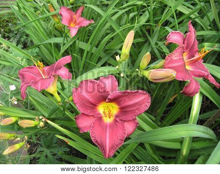 macrofilming of the growing flower of a day lily Hemerocallis of yellow claret color on a bed in a garden