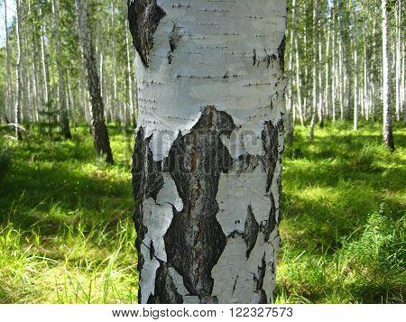 macro birch trunk in the birch wood summer Russia South Ural