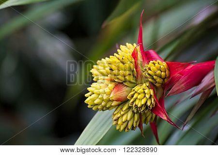Blossom Of A Tufted Airplant Species (guzmania)