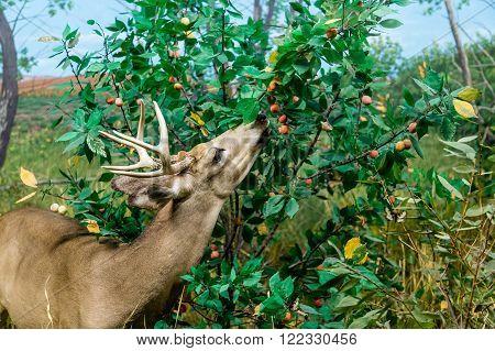 A Deer feeding on berries in field