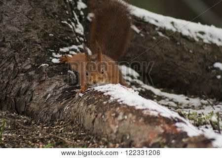 a red squirrel creeping down a tree root