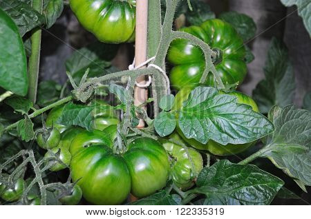 Unripe green beefsteak tomatoes growing on a plant England UK Western Europe.