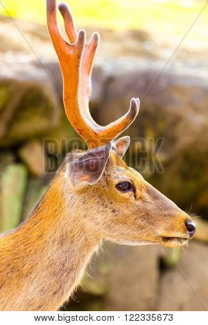 Deer Head Antlers Closeup Face Side Nara Japan