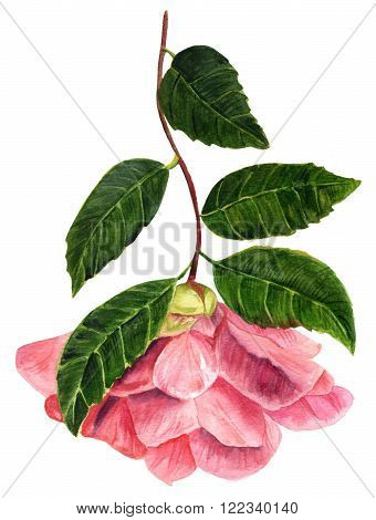 A vintage style watercolor drawing of a tender pink camellia flower in bloom with green leaves on white background