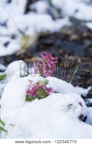 Spring violet hollowroot (corydalis) flower covered with snow under nature background