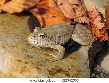 The marsh frog (Pelophylax ridibundus) in water on a background of leaves