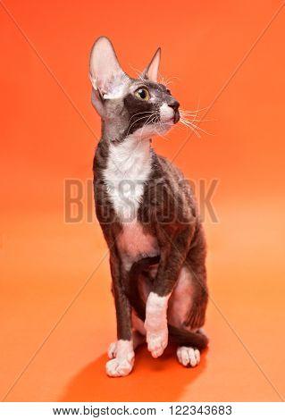 Cat Cornish Rex on a bright orange background