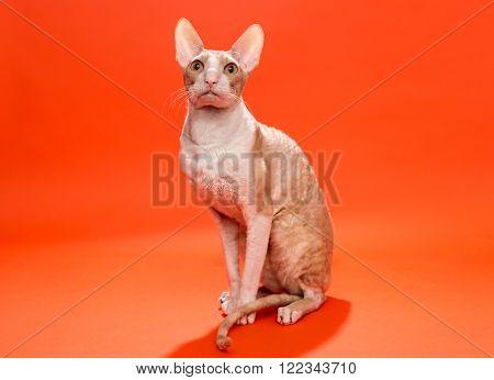 Cat Cornish Rex yellow colors on a bright orange background