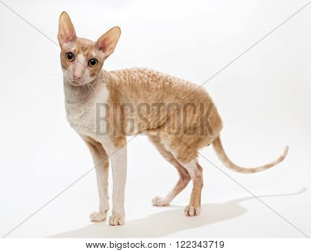 Domestic cat breed the Cornish Rex, isolated on white