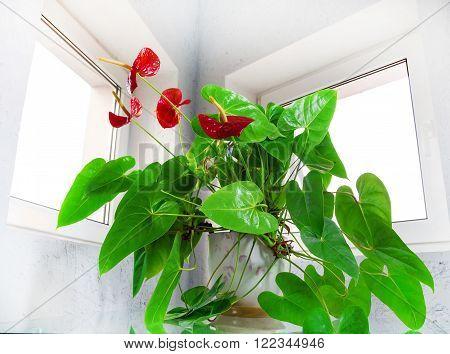 red anthurium flowers decorative house plants interior