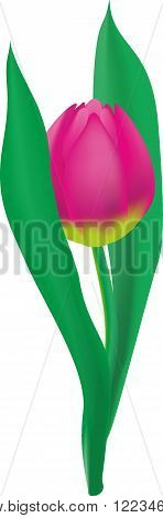 Pink Tulip with two leaves png image