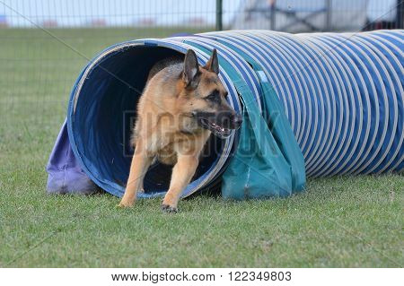 German Shepherd Leaving Tunnel at a Dog Agility Trial
