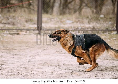 Fast running German Shepherd Dog at training. Alsatian Wolf Dog.