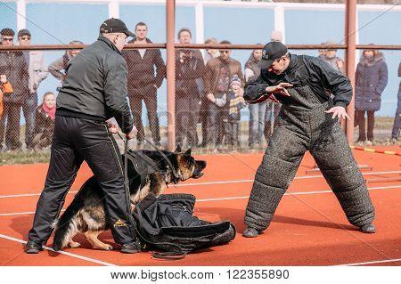 Gomel, Belarus - March 12, 2016: German shepherd dog training in Gomel Regional sports club and decorative dog-breeding. Biting dog.