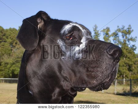 Black purebred Great Dane with a white circle around his eye