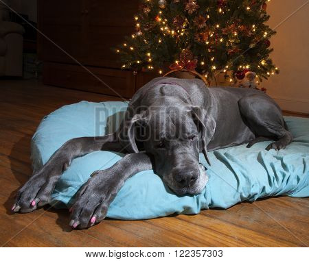 Blue Great Dane that looks depressed next to a lit Christmas tree