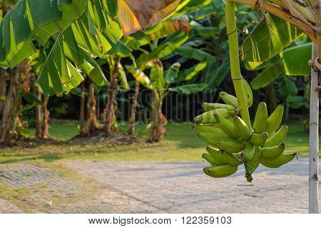 The Unripe bananas in the bananas garden