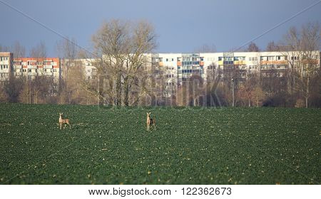 Roe Deer (capreolus Capreolus) Couple On Rapeseed Field In Front Of Suburb Of Greifswald, Germany