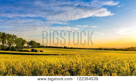Yellow rape field landscape somewhere in the country