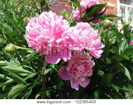 spring peony Bush bloomed with lush pink flowers and buds