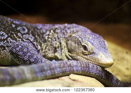Blue-spotted tree monitor lizard (Varanus macraei) .